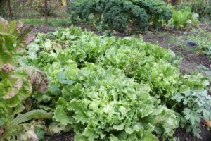 Endiviensalat im Garten - die frau am grill
