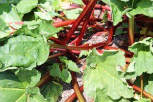 Rhabarber im Garten-kuchen-rezept-die frau am grill-web