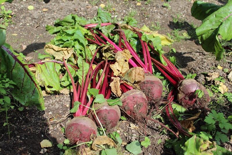 frisch geerntete Rote Beete mit Blättern - die frau am grill